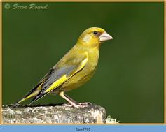 greenfinch-70.jpg