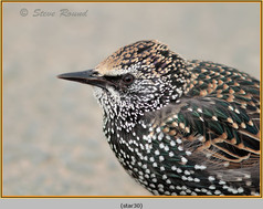 starling-30.jpg