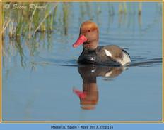 red-crested-pochard-15.jpg