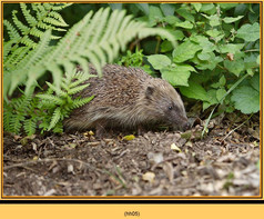 hedgehog-05.jpg