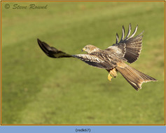 red-kite-67.jpg