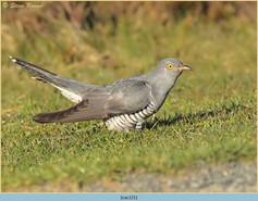 cuckoo-121.jpg