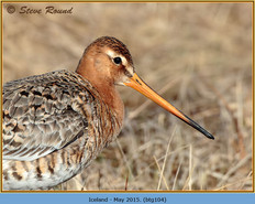 black-tailed-godwit-104.jpg