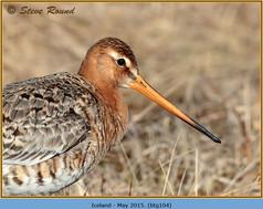 black-tailed-godwit-104.jpg