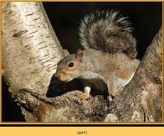 grey-squirrel-14.jpg