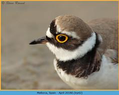 little-ringed-plover-42.jpg