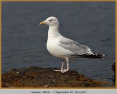 herring-gull-36.jpg