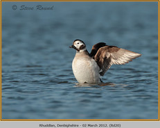 long-tailed-duck-20.jpg