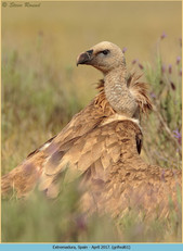 griffon-vulture-61.jpg
