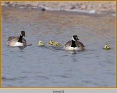 canada-goose-33.jpg