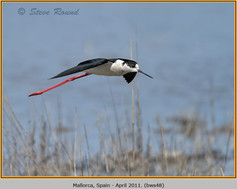 black-winged-stilt-48.jpg