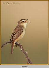 sedge-warbler-36.jpg