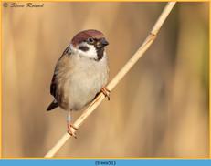 tree-sparrow-51.jpg