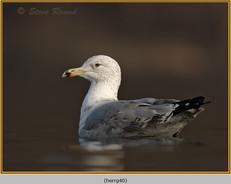 herring-gull-40.jpg