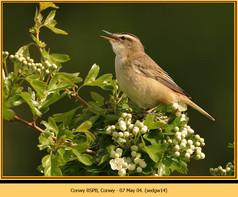sedge-warbler-14.jpg