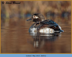 long-tailed-duck-51.jpg