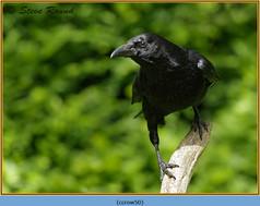 carrion-crow-50.jpg