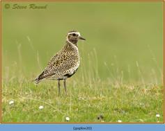 golden-plover-20.jpg