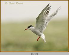 common-tern-39.jpg