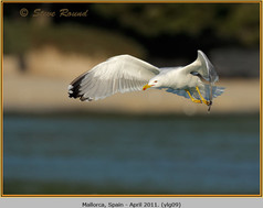 yellow-legged-gull-09.jpg