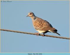 turtle-dove-26.jpg