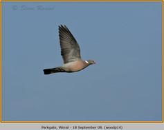 wood-pigeon-14.jpg