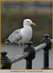 herring-gull-07.jpg