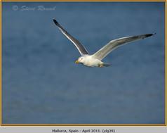 yellow-legged-gull-39.jpg