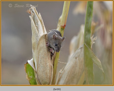 brown-rat-09.jpg