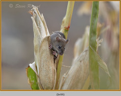 brown-rat-09.jpg