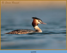 great-crested-grebe-68.jpg