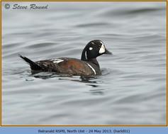 harlequin-duck-01.jpg