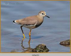 white-tailed-lapwing-26.jpg
