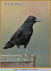 carrion-crow-11.jpg