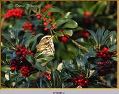 redwing-50.jpg
