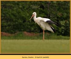 white-stork-09.jpg