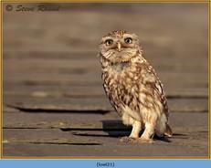 little-owl-21.jpg