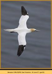 gannet-30.jpg