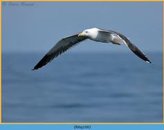 lesser-black-backed-gull-100.jpg