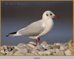 black-headed-gull-25.jpg