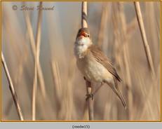 reed-warbler-15.jpg