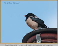 rose-coloured-starling-04.jpg