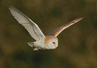 barn-owl-1.jpg