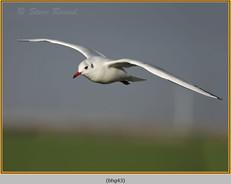 black-headed-gull-43.jpg