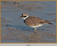 little-ringed-plover-21.jpg