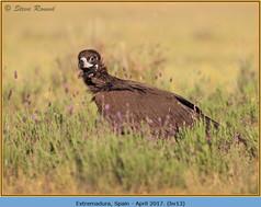 black-vulture-13.jpg