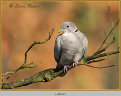 collared-dove-17.jpg