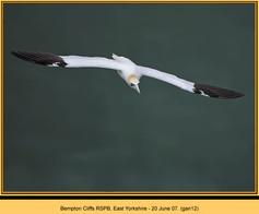 gannet-12.jpg