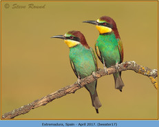 bee-eater-17.jpg