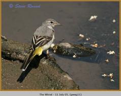 grey-wagtail-11.jpg